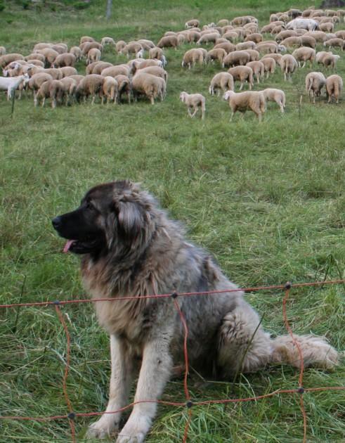 Feroci Cani Del Caucaso
