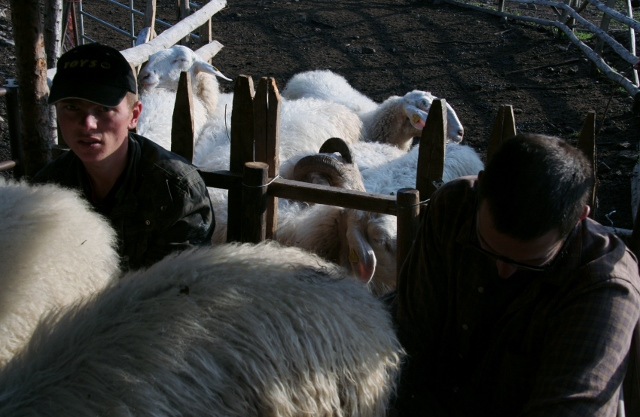 mungere pecore a mano