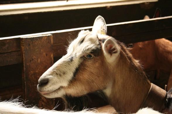 Alpe sass da mur vco - Immagini da colorare capra ...