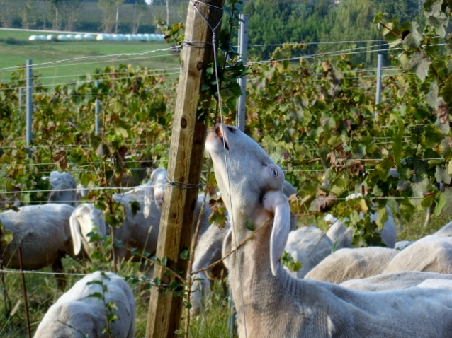Pecore alla ribalta for Irrigazione vigneto